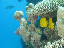 Poissons citrons dans le corail (Safaga)