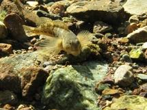 Blennie dans la rivière du Fango (Galéria)