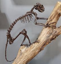 Notharctus, mammifère primitif, ancêtre des primates. Photo : Bernard Faye / MNHN