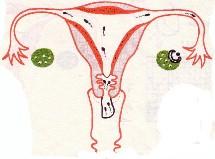 Ce mystérieux cycle féminin
