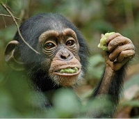 Photo du film ''Chimpanzés'', copyright : Walt Disney
