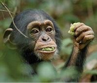 Photo du film ''Chimpanzés'', copyright : Walt Disney