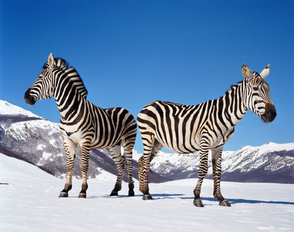 Paola PIVI - Untitled (zebras), 2003 140x171cm. Photographie de Hugo Glendinning. Avec l'aimable autorisation de l'artiste et la Galerie Perrotin.